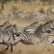 Herd of zebras gallopping — Stock Photo #28023815