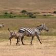 Baby zebra with mother — Stock Photo #28026941