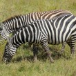 Grazing zebras — Stock Photo