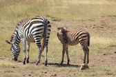 Baby zebra with mother — Foto Stock