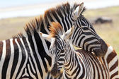 Baby zebra with mother — Stock Photo