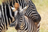 Baby zebra with mother — Stockfoto