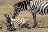 Baby zebra met moeder — Stockfoto