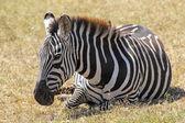 Gemeenschappelijke zebra liegen — Stockfoto