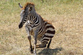 Babyzebra heben — Stockfoto
