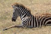 Dítě zebra ležící — Stock fotografie