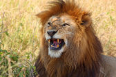 Male lion showing teeth — Stock Photo