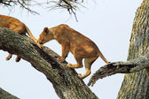 Lioness on a tree — Stockfoto