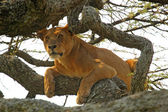 Lioness on a tree — Stock Photo