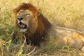 Male lion resting — Stockfoto