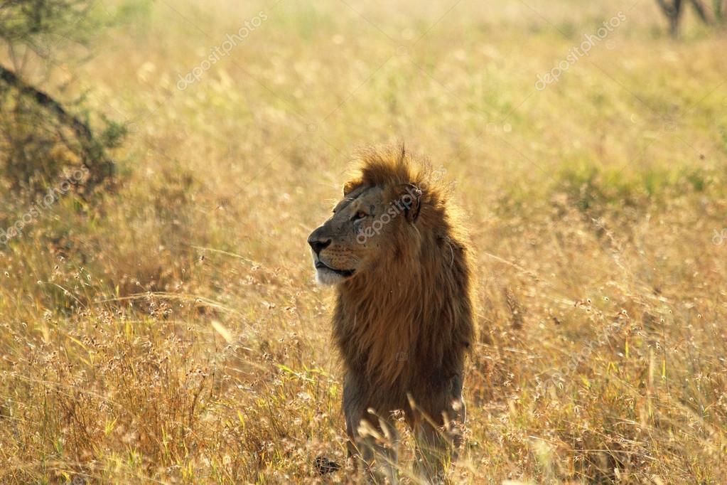 Самца льва в саванне — Стоковое фото © MattiaATH #28308177: http://ru.depositphotos.com/28308177/stock-photo-male-lion-in-savannah.html