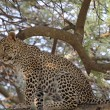 Leopard sitting on a tree — Stock Photo