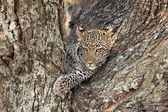 Leopard on a tree — Stock Photo