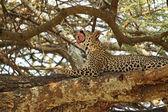 Leopard yawning on a tree — Stockfoto