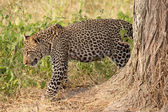 Leopard moving in the bush — Stock Photo