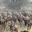 Постер, плакат: Herd of blue wildebeests during the great migration
