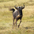 Blue wildebeest running — Stock Photo