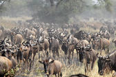 Herd of blue wildebeests during the great migration — Stock Photo