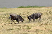 Male blue wildebeests fighting — Stock Photo