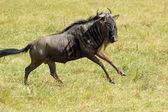 Blue wildebeest running — Foto Stock