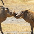 Stock Photo: Couple of warthogs loving