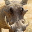 Portrait of a warthog — Stock Photo