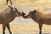 Couple of warthogs loving — Stock Photo