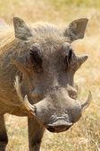 Portrait of a warthog — Stock Photo