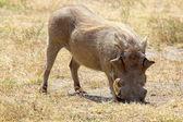Um javali de pastoreio — Fotografia Stock