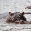 Baby hippo with mother — Stock Photo
