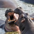 Male hippos fighting — Stock Photo