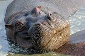 Portrait of hippo — Stock Photo
