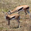 Couple of Thomson's gazelle — Stock Photo