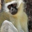 Vervet monkey on a tree — Stock Photo