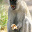 Male vervet monkey eating and displaying teeth — Stock Photo