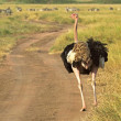 Stock Photo: Male ostrich walking down street