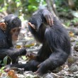 Stock Photo: Young chimpanzees playing