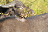 Oxpeckers on african buffalo — Stock Photo