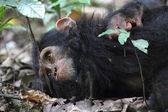 Young chimpanzee lying — Stock Photo