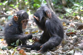 Young chimpanzees playing — Stock Photo