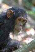 Portrait of young chimpanzee — Stock Photo
