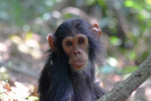 Portrait of young chimpanzee — Stock Photo