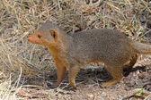 A common dwarf mongoose — Stock Photo