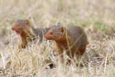 Common dwarf mongooses — Stock Photo