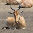 Resting hartebeest — Stock Photo