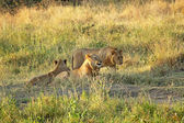 Group of young lions resting — Stock Photo
