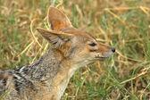 Portrait of a black-backed jackal — Stock Photo