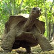A towering Aldabra giant tortoise — Stock Photo
