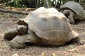 Aldabra giant tortoise — Stock fotografie