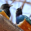 Stock Photo: African birds, Superb starlings, on a tree